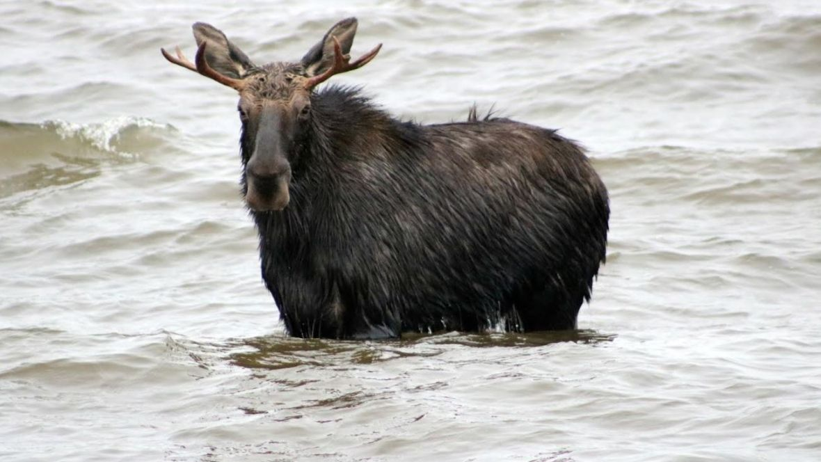 Swimming moose on the loose causes traffic havoc in North