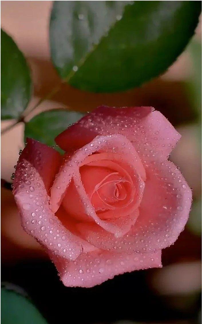 Pin De Vera Martinatto Em Flores Rosas Lindas Rosas Melhores