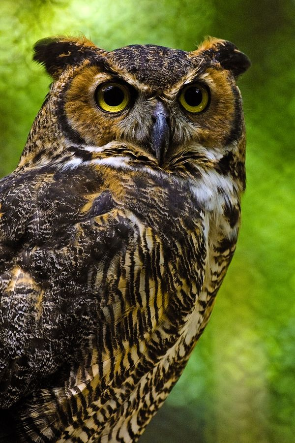 Great Horned Owl by Butch Barker, via 500px