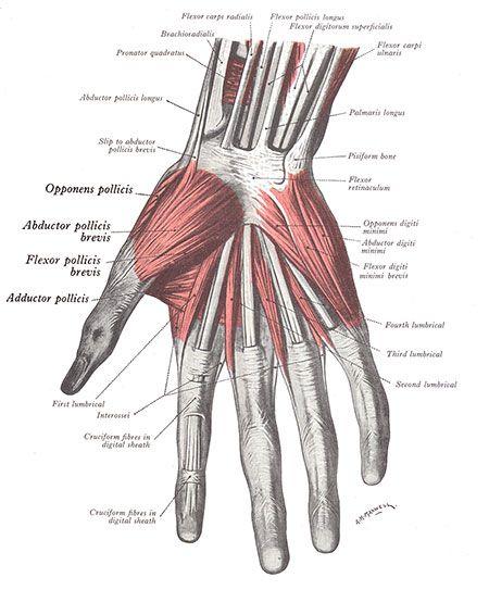 paul manley back pain clinic: thumb pain treatment, common thumb, Muscles