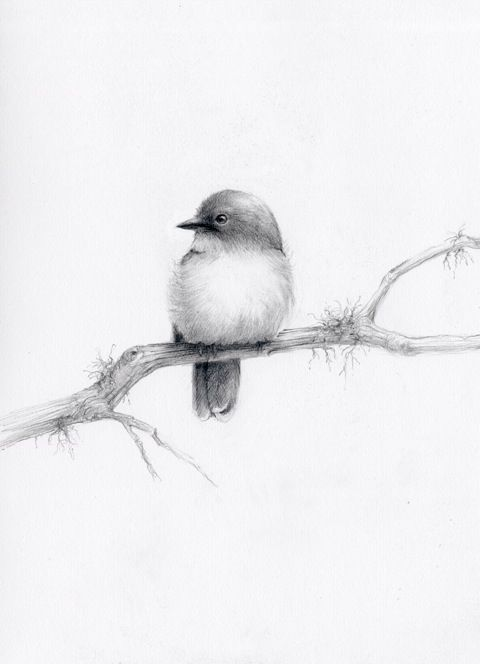 eastern yellow robin pencil