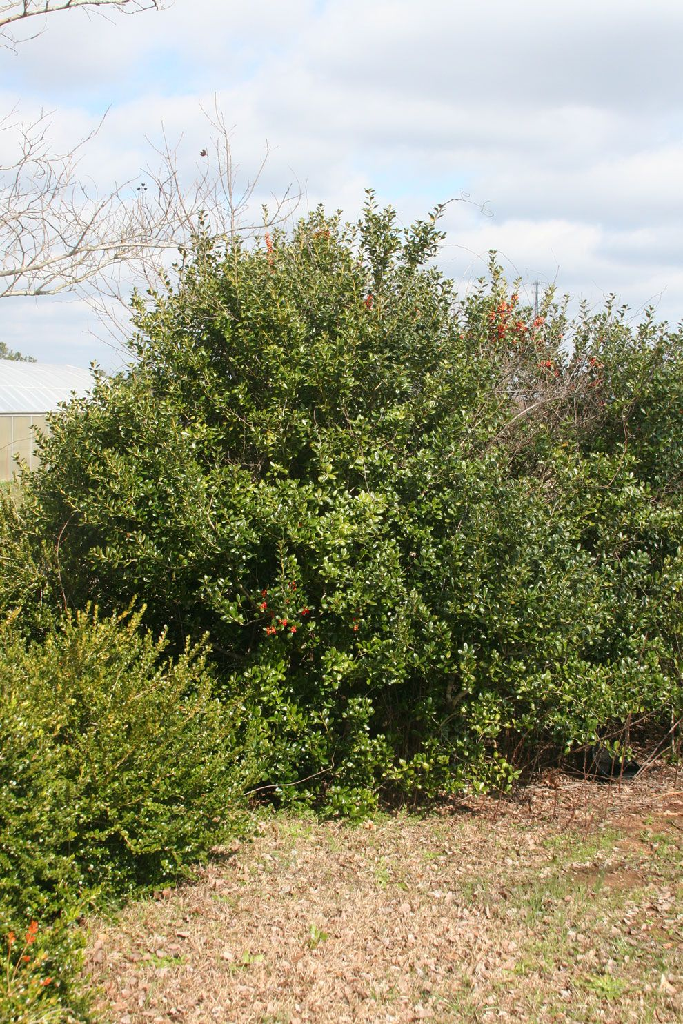Pruning Tips to Salvage Your Overgrown Landscape - State-by-State Gardening #overgrownaesthetic