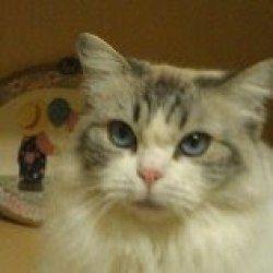 Adopt Maggie Purebred On Ragdoll Cat Pet Finder Pet Adoption