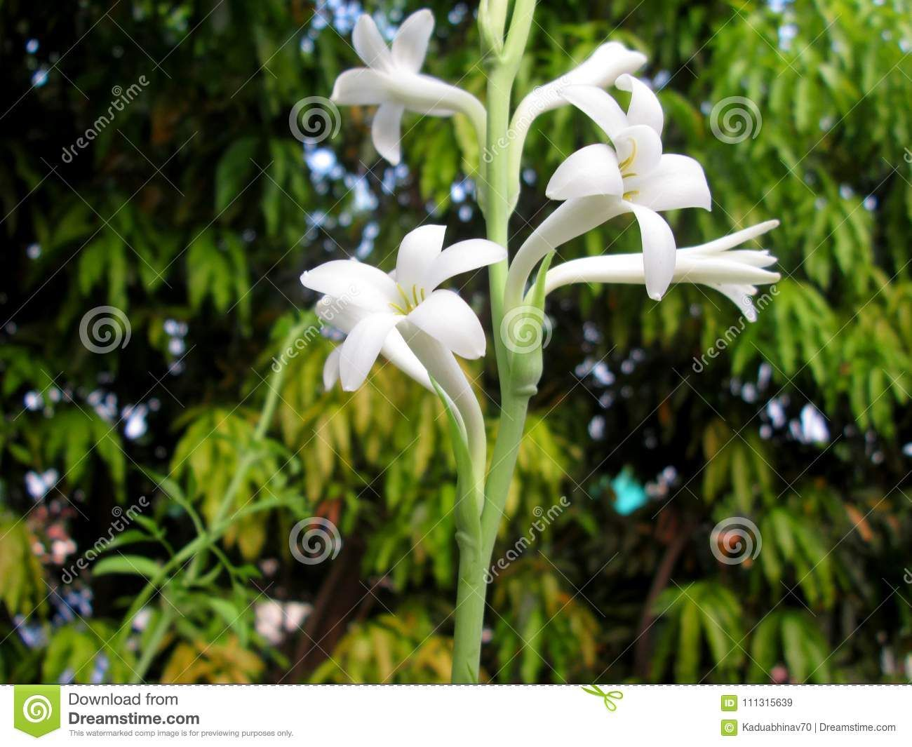 Photo About Beautiful White Polianthes Flower Bloomed Up In The Summer Season Image Of Beautiful Polianthes Bloomed 1113156 Tropical Flowers Flowers Bloom