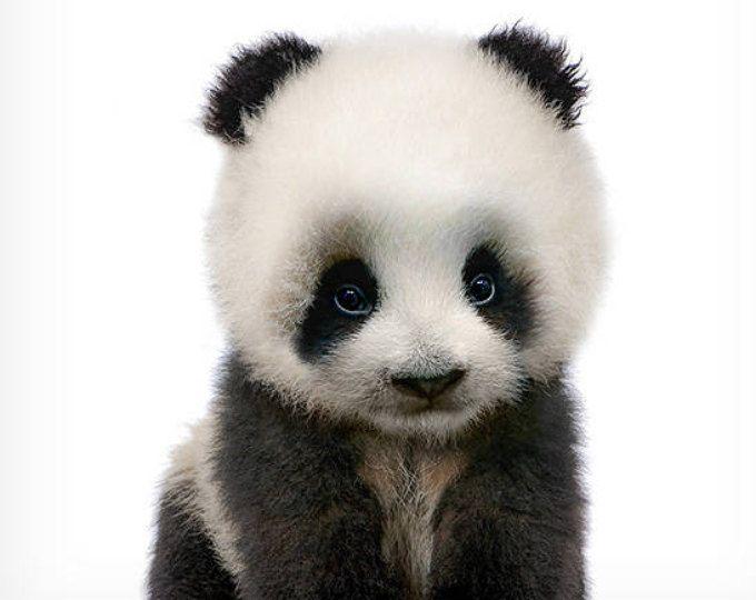Baby Panda Print Wildlife Print Nursery Animal Prints