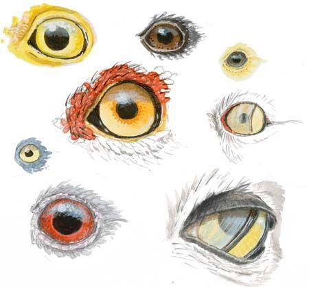 Eyes John Muir Laws Bird Drawings Cool Drawings Animal Drawings