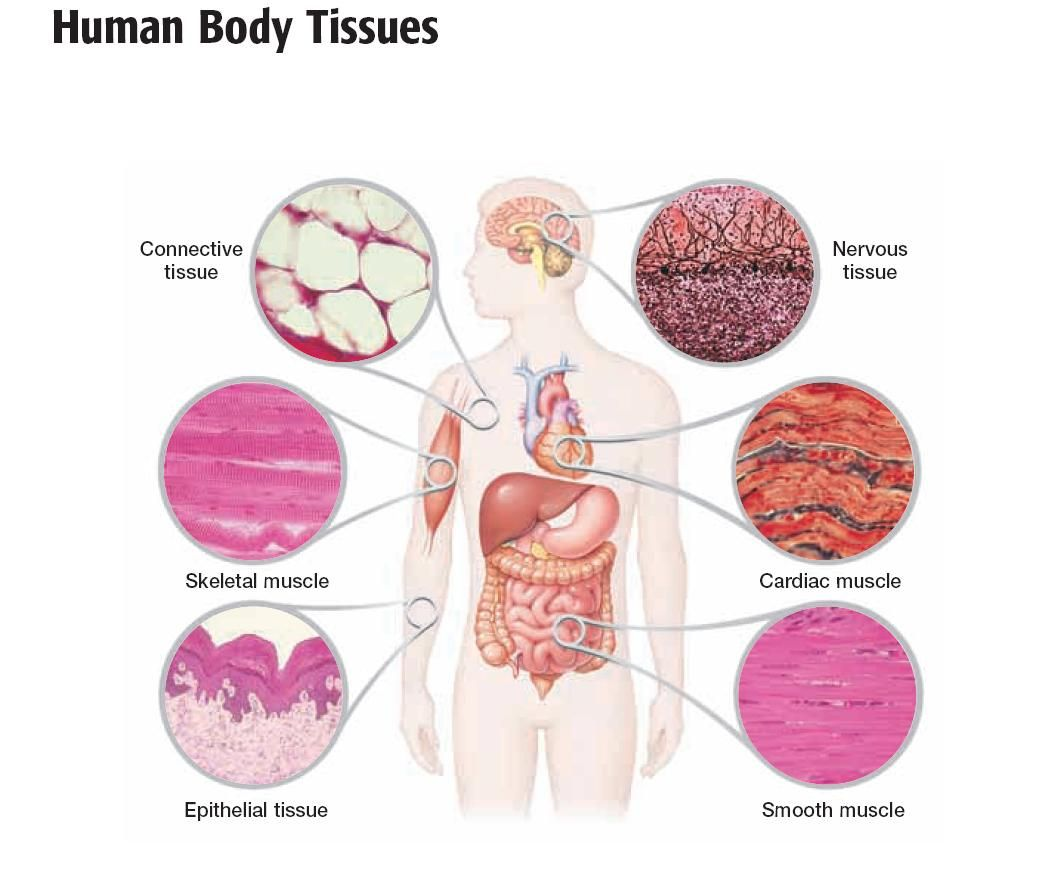 Types of Tissue Study of Biological Science Tissue