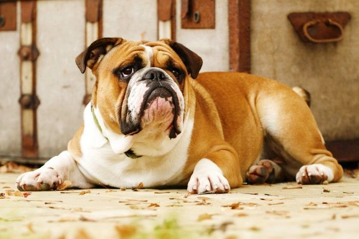 Simple But Very Effective English Bulldog Training Advices For The New Pet Owners
