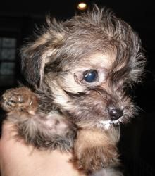 Adopt Steffie On Yorkshire Terrier Yorkie Dogs Yorkshire