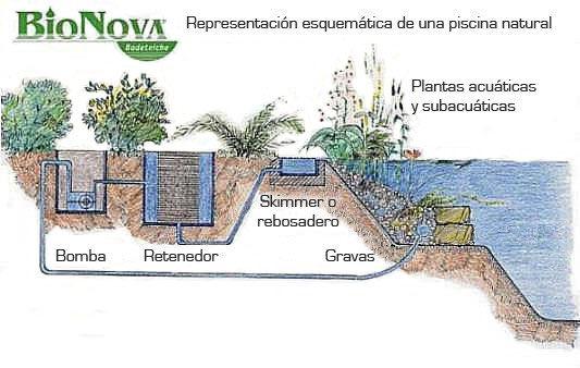 Representaci n esquem tica de una piscina natural bionova for Construccion de piscinas naturales