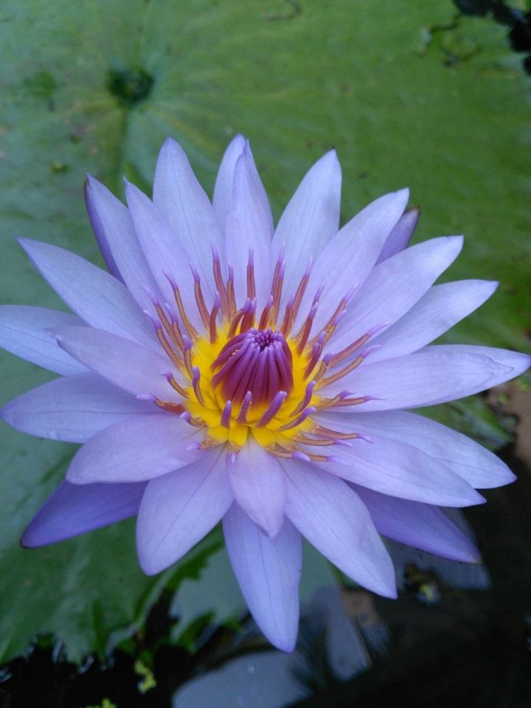 Pin By Yasmin Mello On Blue Lotus Flowers Pinterest Lotus