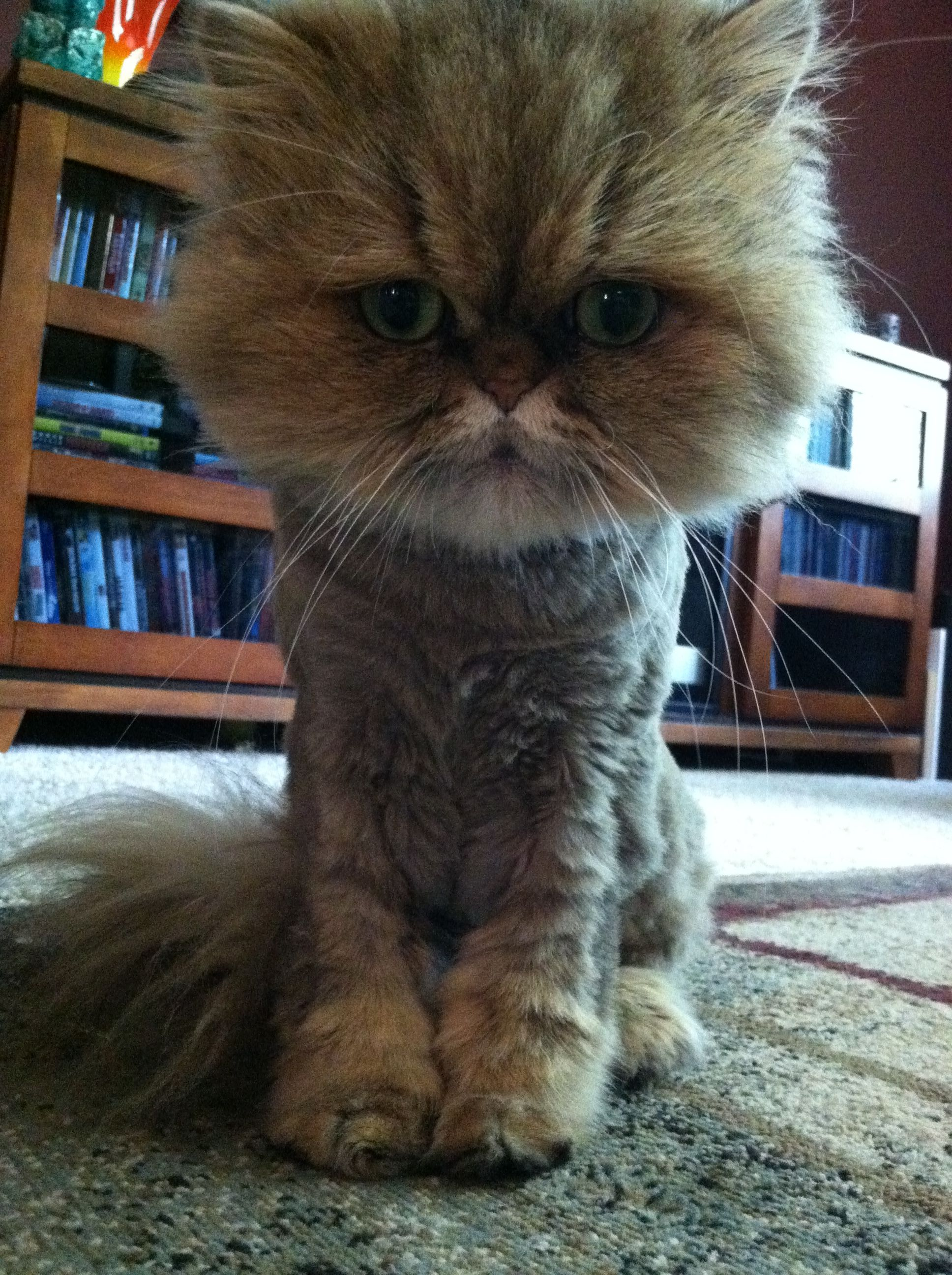 Teacup Persian Fiona with a haircut! Cat haircut