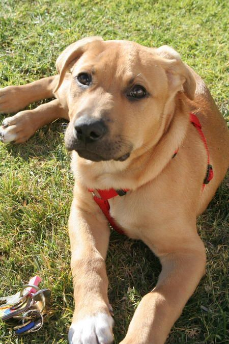 Jack the Rhodesian Lab mix | Dogs | Pinterest | Labs, Dog ...