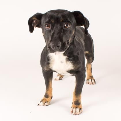 Dogs With Images Homeless Pets Dog Adoption Dachshund Mix
