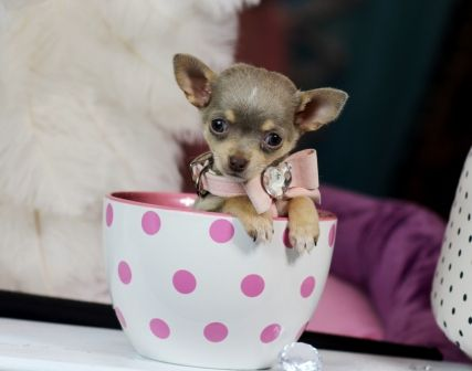 Teacup Chihuahuas For Sale Chihuahua Puppies Chihuahua For Sale Teacup Chihuahua Puppies
