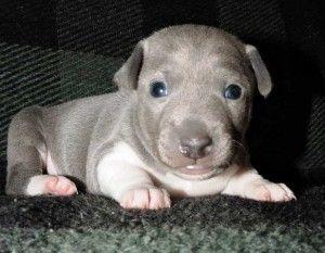Rat Terrier Puppies Knoxville Tn Dengan Gambar