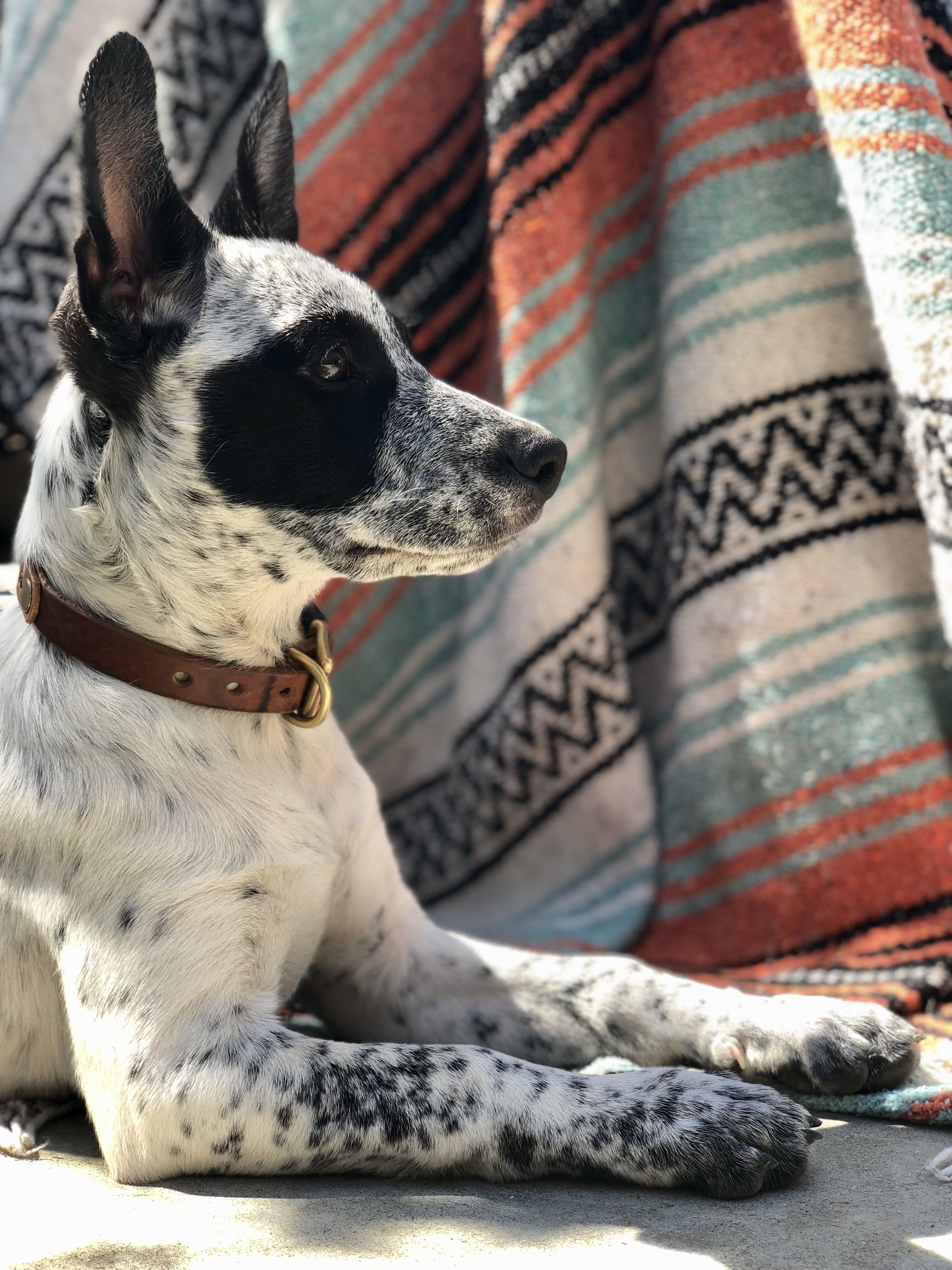 Glamour shot of Pepper, my heeler. Australian Cattle Dog