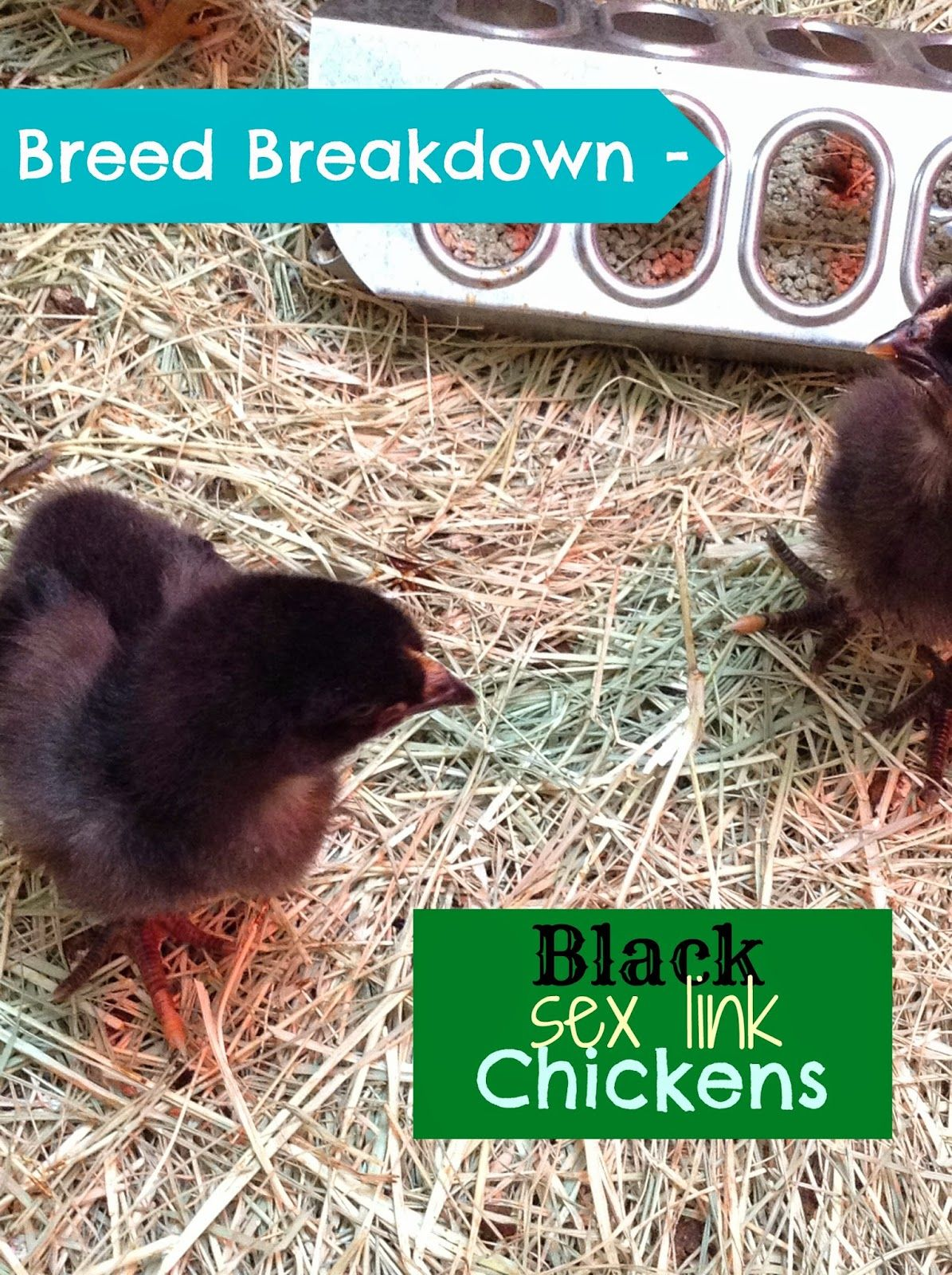 Black sex links chickens