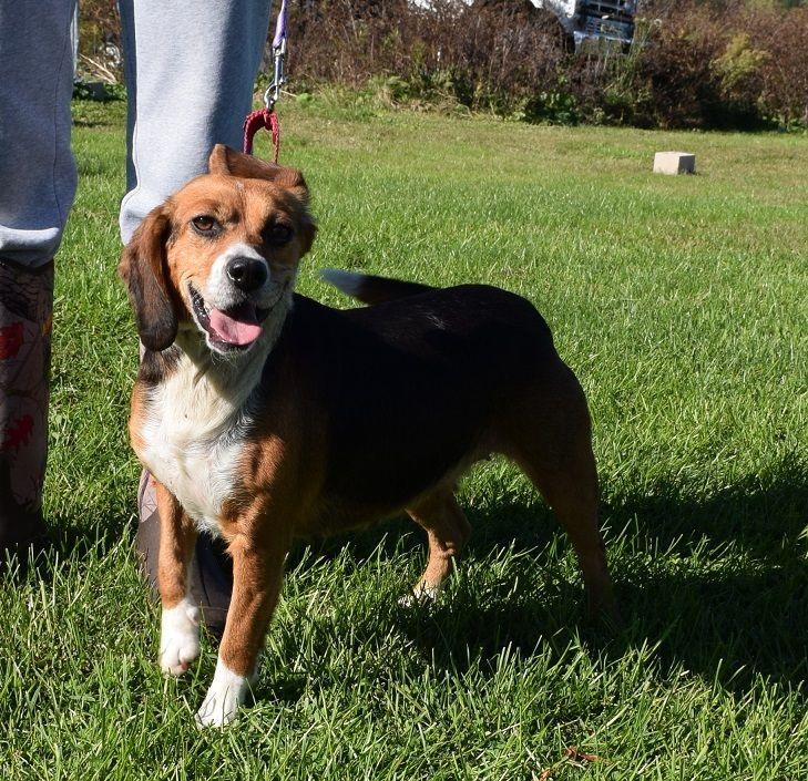 Adopt Lovey on Adoptable beagle, Dog pounds, Beagle