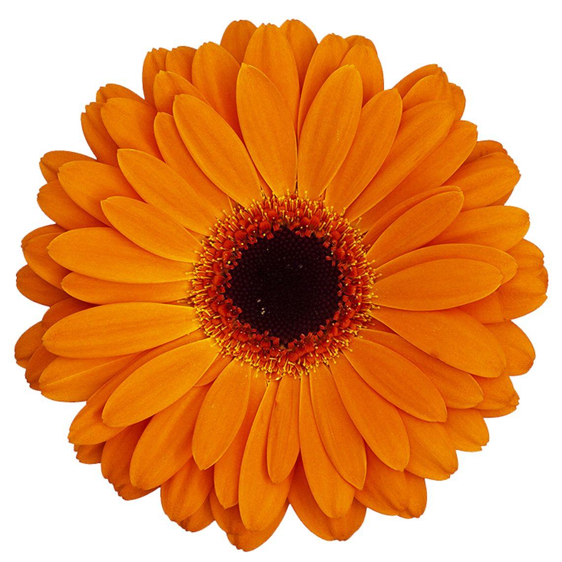 Dutch Pride Variety Standard Gerbera From Hollandia Greenhouse Http Www Hollandia Ca Album Standardgerbera Dut Gerbera Orange Wedding Flowers Gerbera Flower