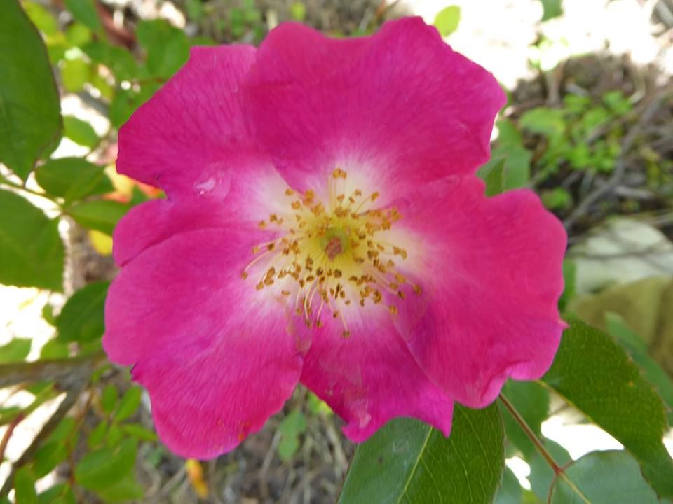 (136) The Friends of Vintage Roses