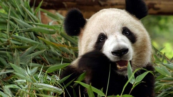 Panda is one of the beautiful animals - Image