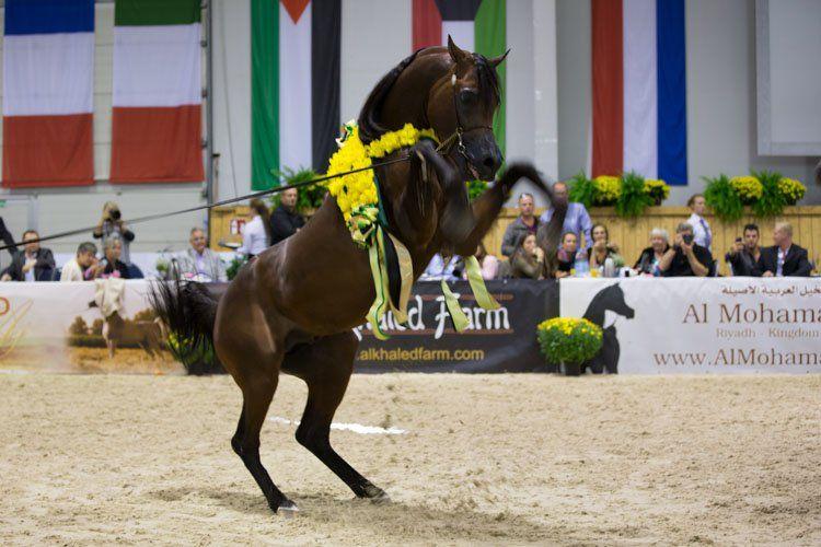 غدا تنطلق بطولة كأس كل الأمم لجمال الخيل العربية الأصيلة 2016 بألمانيا الجدول Horses Arabian Horse Animals