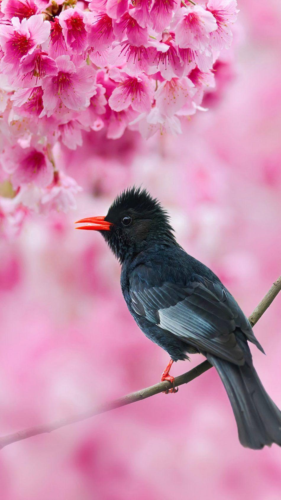 Black Bulbul Sakura Tree Pink Flowers 4k Ultra Hd Mobile Wallpaper Bird Wallpaper Sakura Tree Pet Birds
