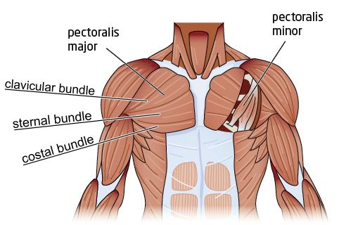 know you anatomy chest pectoral muscles chest fitness chest Gluteus Maximus Diagram chest pectoral muscles chest fitness chest workouts, chest muscles, exercise