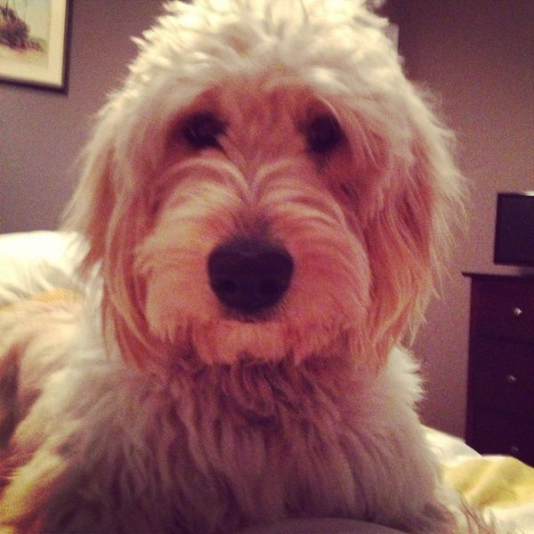 Doodle Dog, Goldendoodle Haircuts, Dog Love
