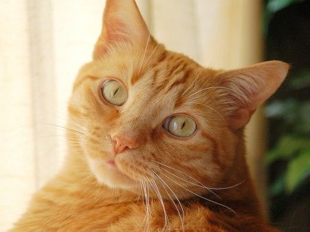 20 things you didnt know about orange tabbies