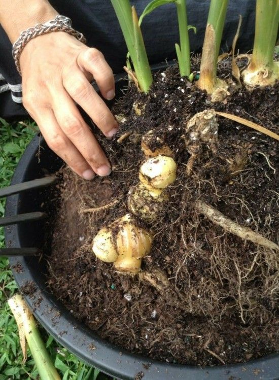 Ingwerpflanze selber anbauen und zu Hause züchten #tomatenzüchten