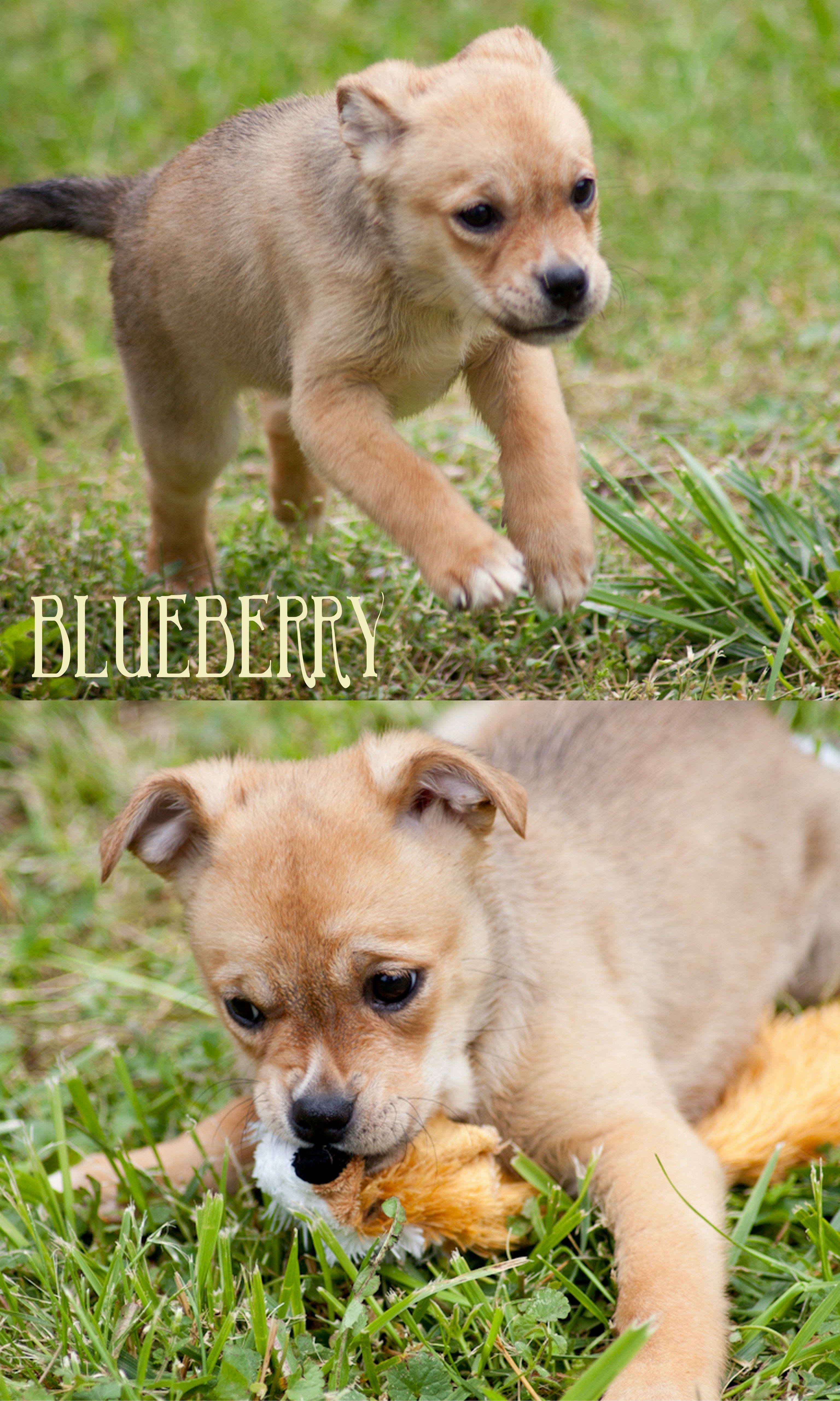Adopt blueberry on dog adoption animals animal rescue