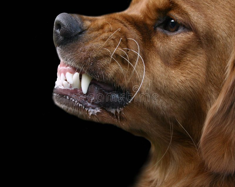 Snarling Dog Golden Retriever Dog Growling Or Snarling With A Big