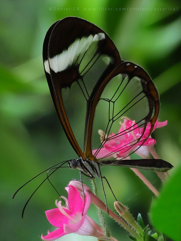 Glasswinged Butterfly 小さな生き物 アニマルキングダム 蝶