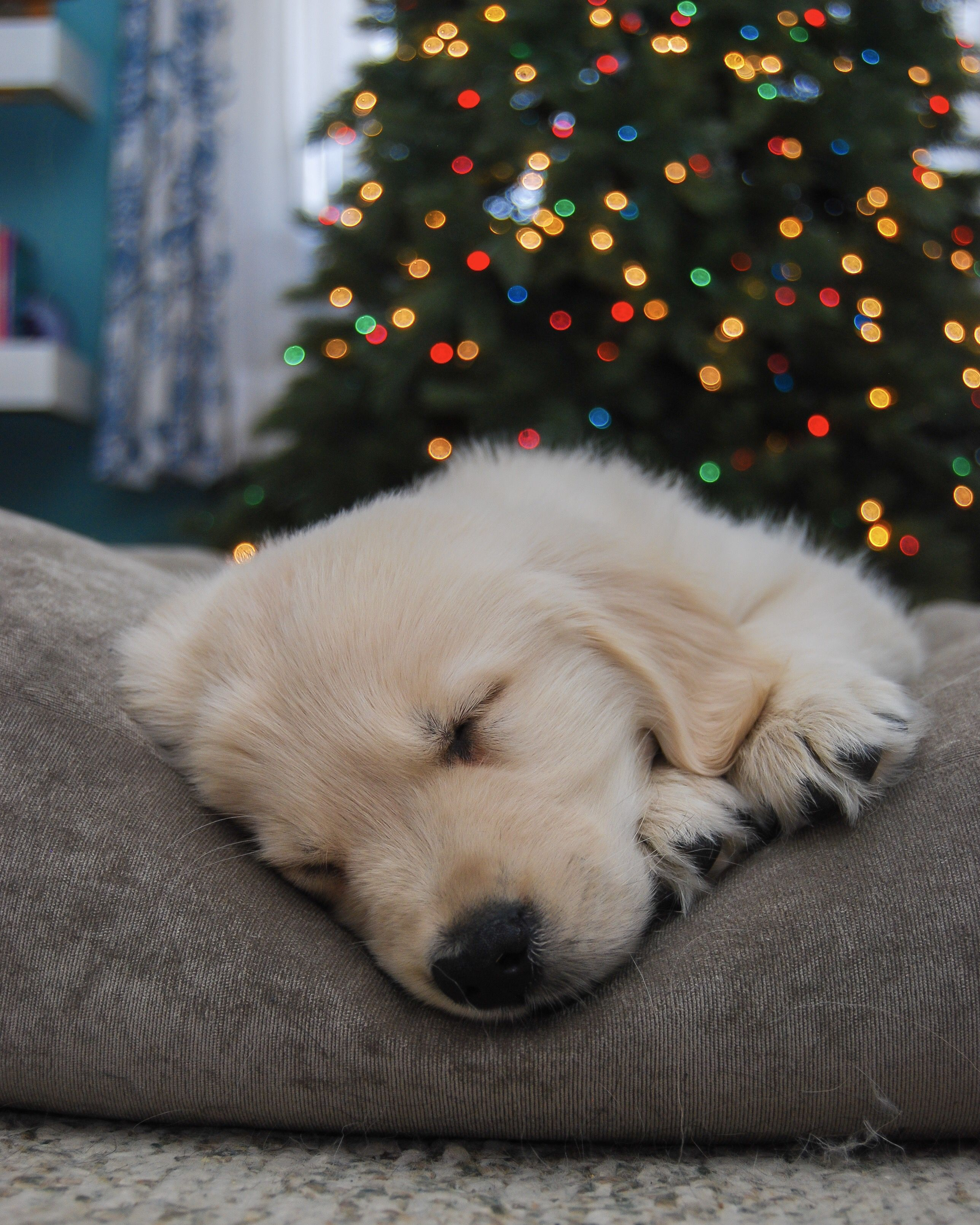 Beautiful 9 Week Old Golden Retriever Puppy Sleeping In Front Of