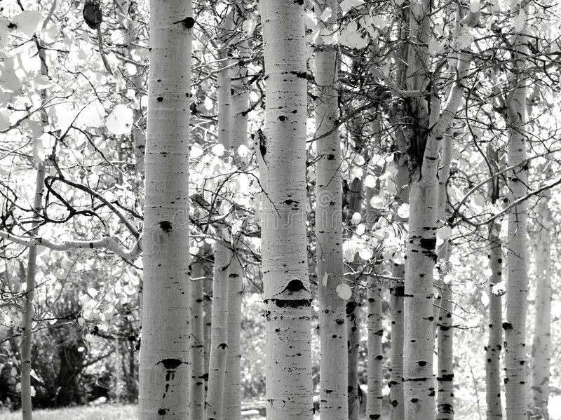 Black and white image of Aspen trees. In the Yosemite