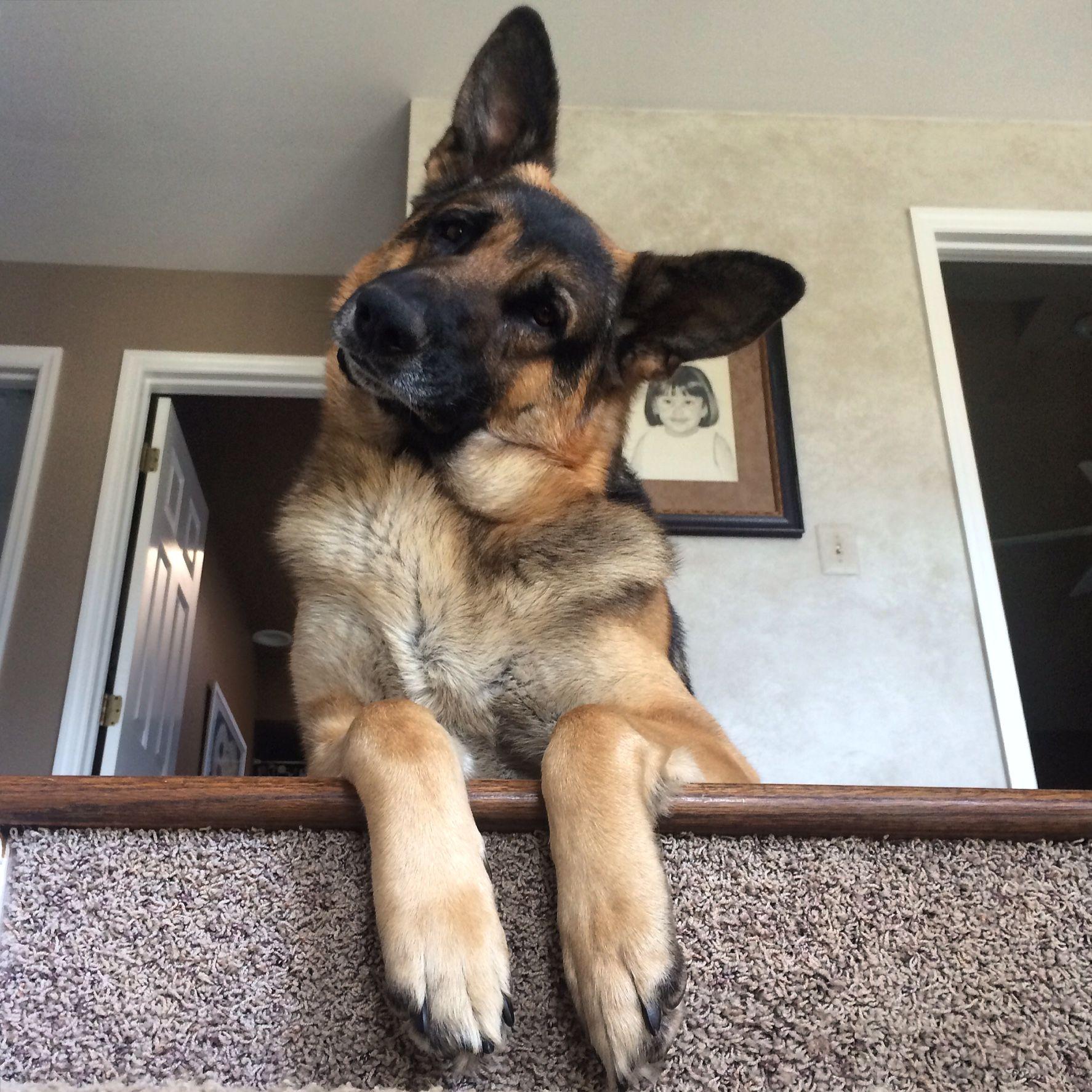 Pin By Bendale On German Shepherd Dogs Part Xi
