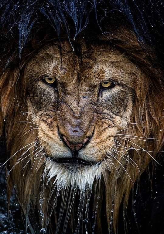 Majestic Wet Lion Scary Animals Animals Beautiful Animals