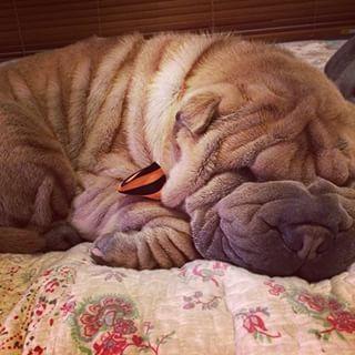 すべての土地で最もsquishable顔をしているこの眠い女の子。 | 42 Of The Most Important Puppies Of All Time