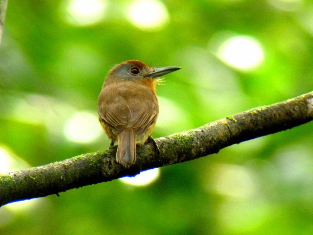 ハイガオアマドリ Grey-cheeked nunlet (Nonnula frontalis)