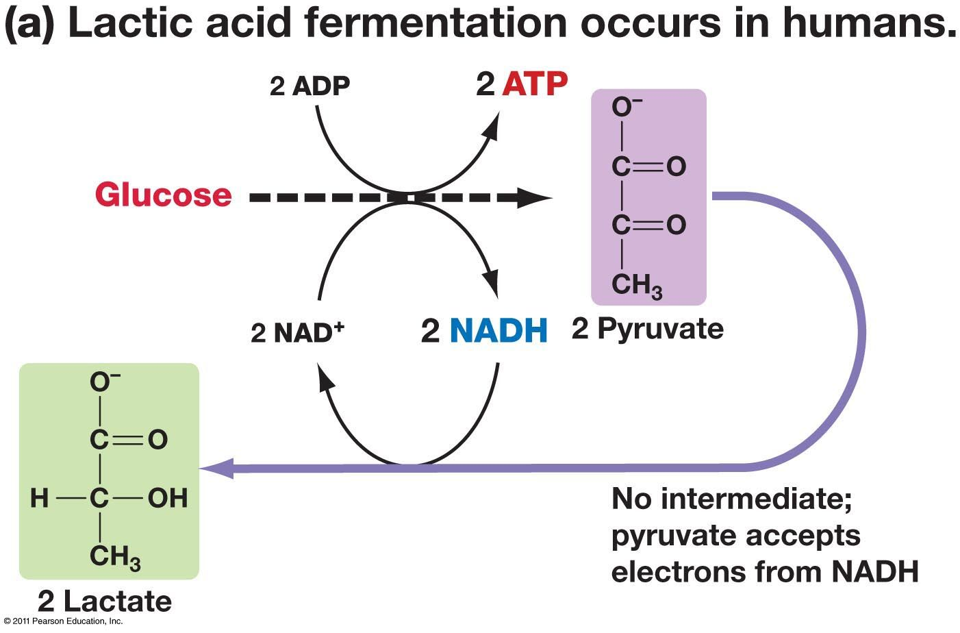 The only goal of fermentation reactions is to convert NADH to NAD+ ...