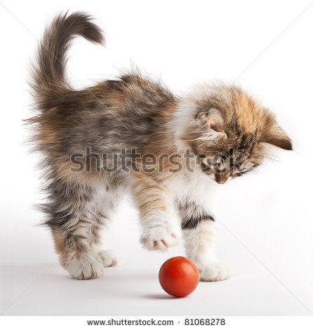Kittens Playing Stockfoto's, afbeeldingen & plaatjes   Shutterstock