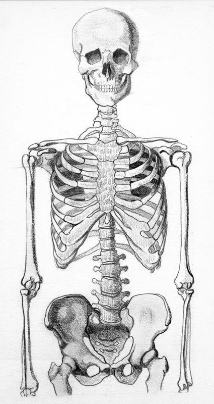 Skeleton Half Skeleton Drawings Human Anatomy Art Skeleton Art