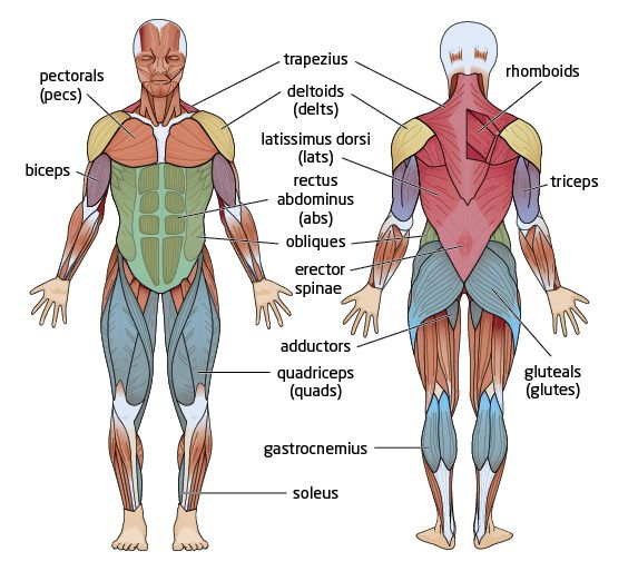 the human muscles anatomy - google search | school studies,