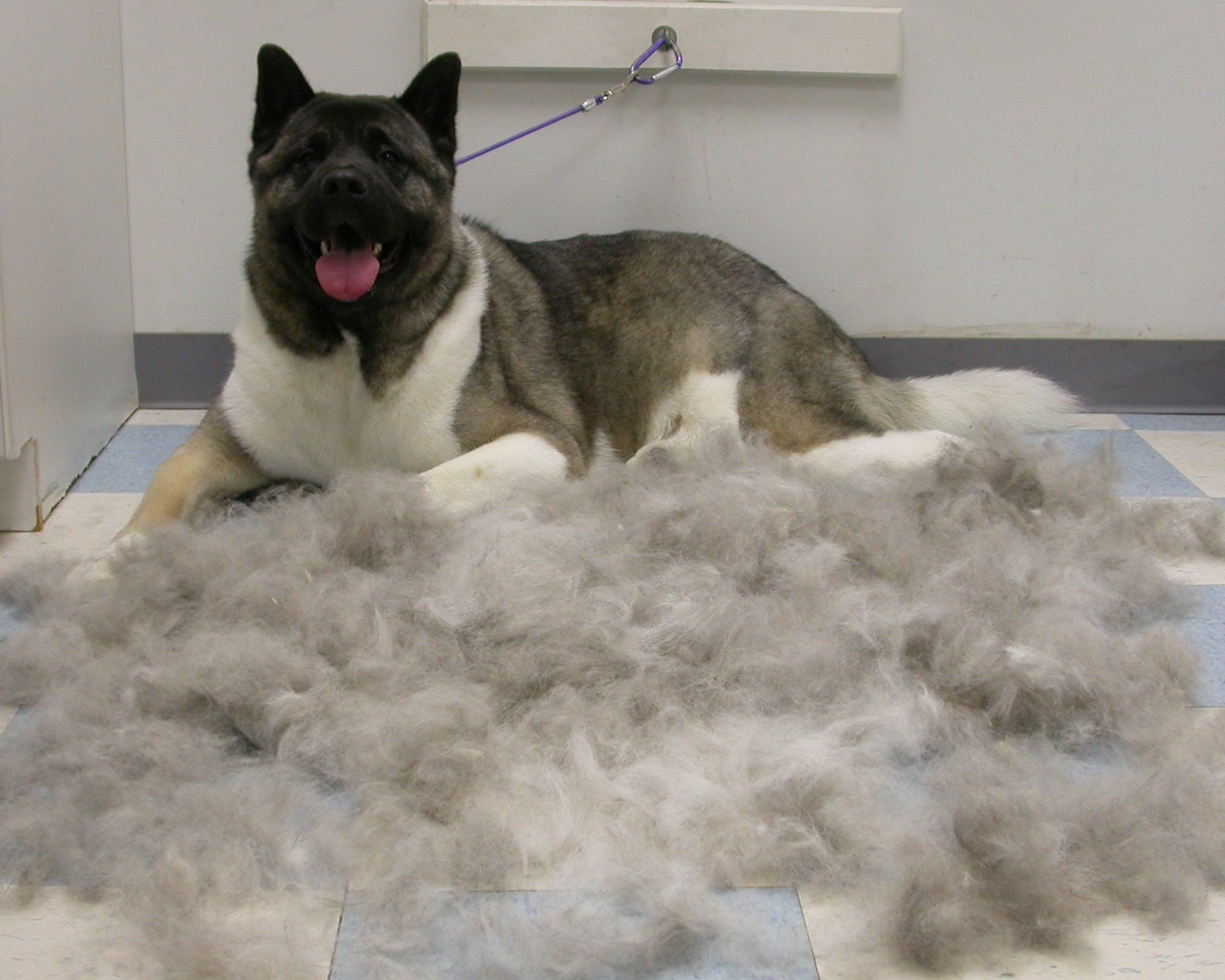 Akitas Blow Their Coats Twice A Year Mine Did All The Time