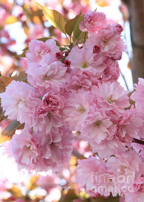 """""""Sunlight through Pink Blossoms"""" by Carol Groenen  #pinkblossoms #springcards #springart #spring #blossoms #beautifulblossoms   http://carol-groenen.pixels.com"""