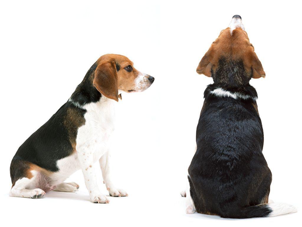 Собака сзади картинка кипы продаются