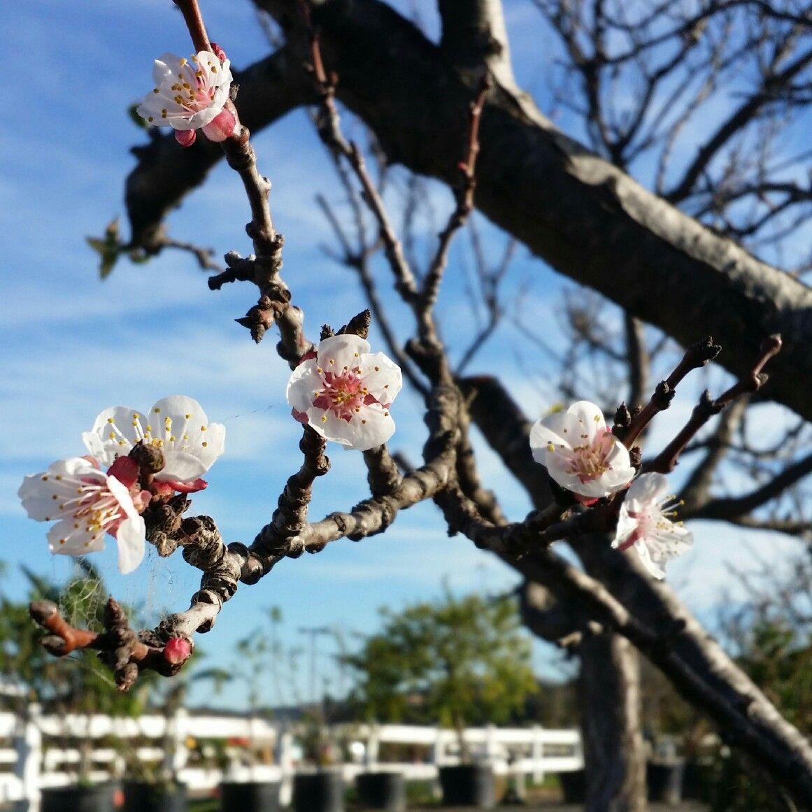 Cherry Blossoms Tanaka Farms In Irvine Ca Blossom Cherry Blossom Flowers