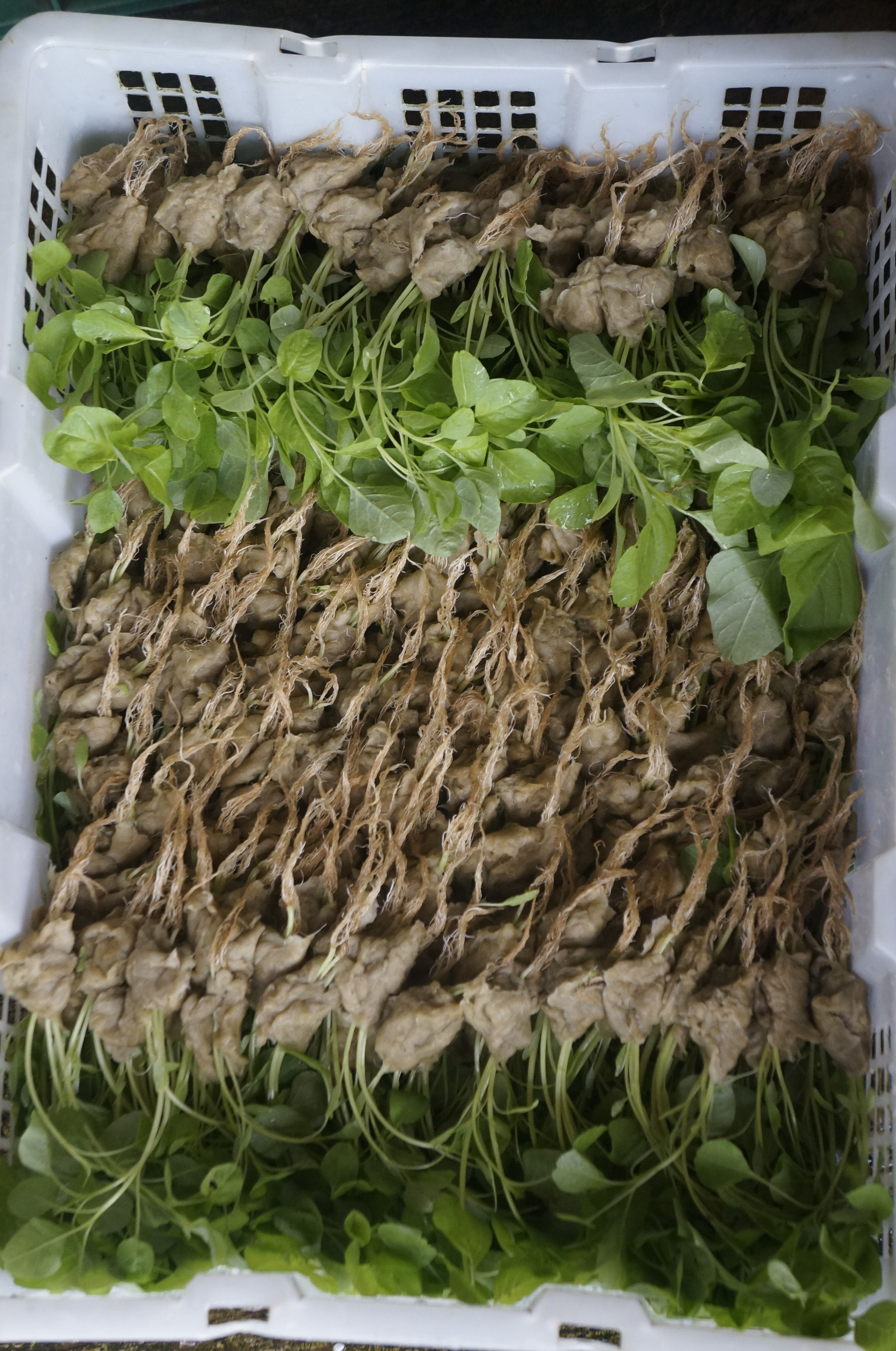 Spinach seedling with rockwool for hydroponic farming system spinach seedling with rockwool for hydroponic farming system solutioingenieria Image collections